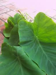 Arbi Leaves