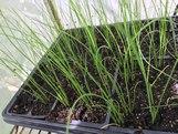 Garlic Chive Plant