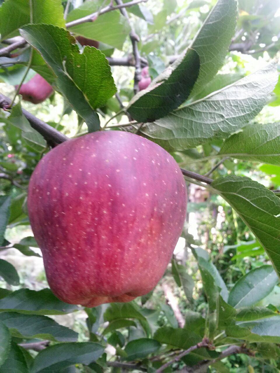 royal-delicious-kullu-apple-2016