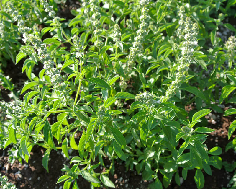 Thai_lemon_basil