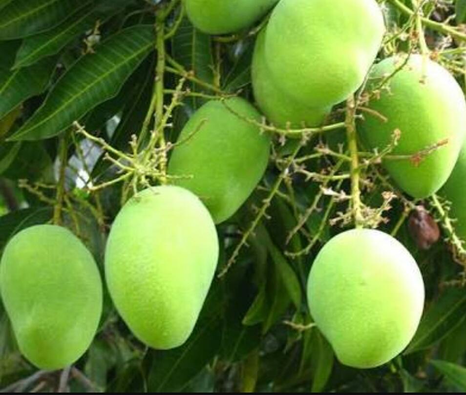Chonsa mango
